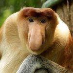 Proboscis Monkey | NatureRules1 Wiki | Fandom