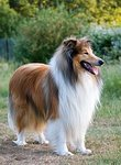220px-1Dog-rough-collie-portrait.jpg